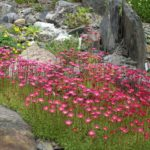 Alpine plants for rock gardens